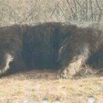 ursul arthur